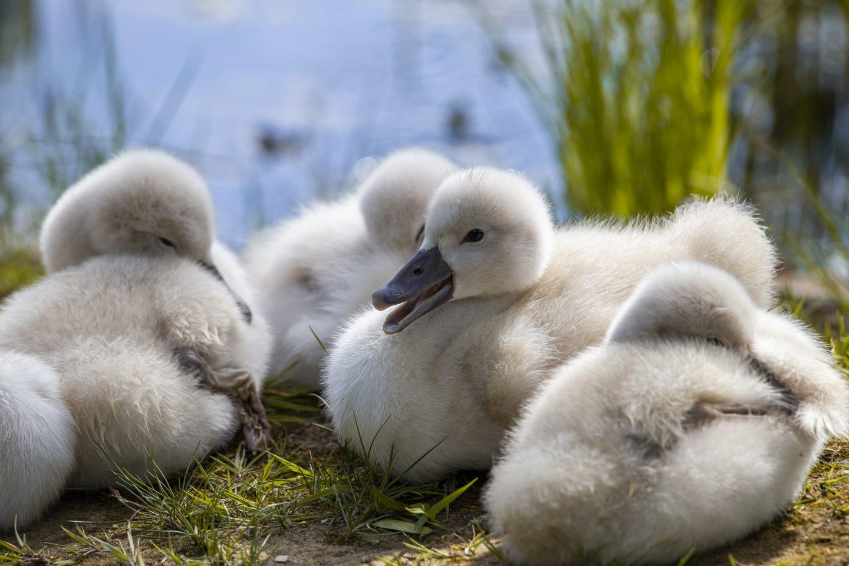 Babyschwäne im Krka Nationalpark