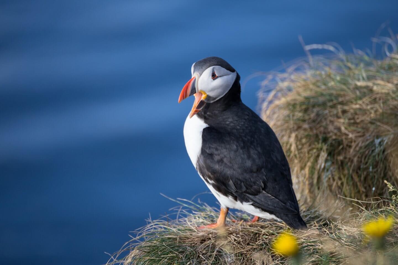 Papageientaucher in den isländischen Ostfjorden