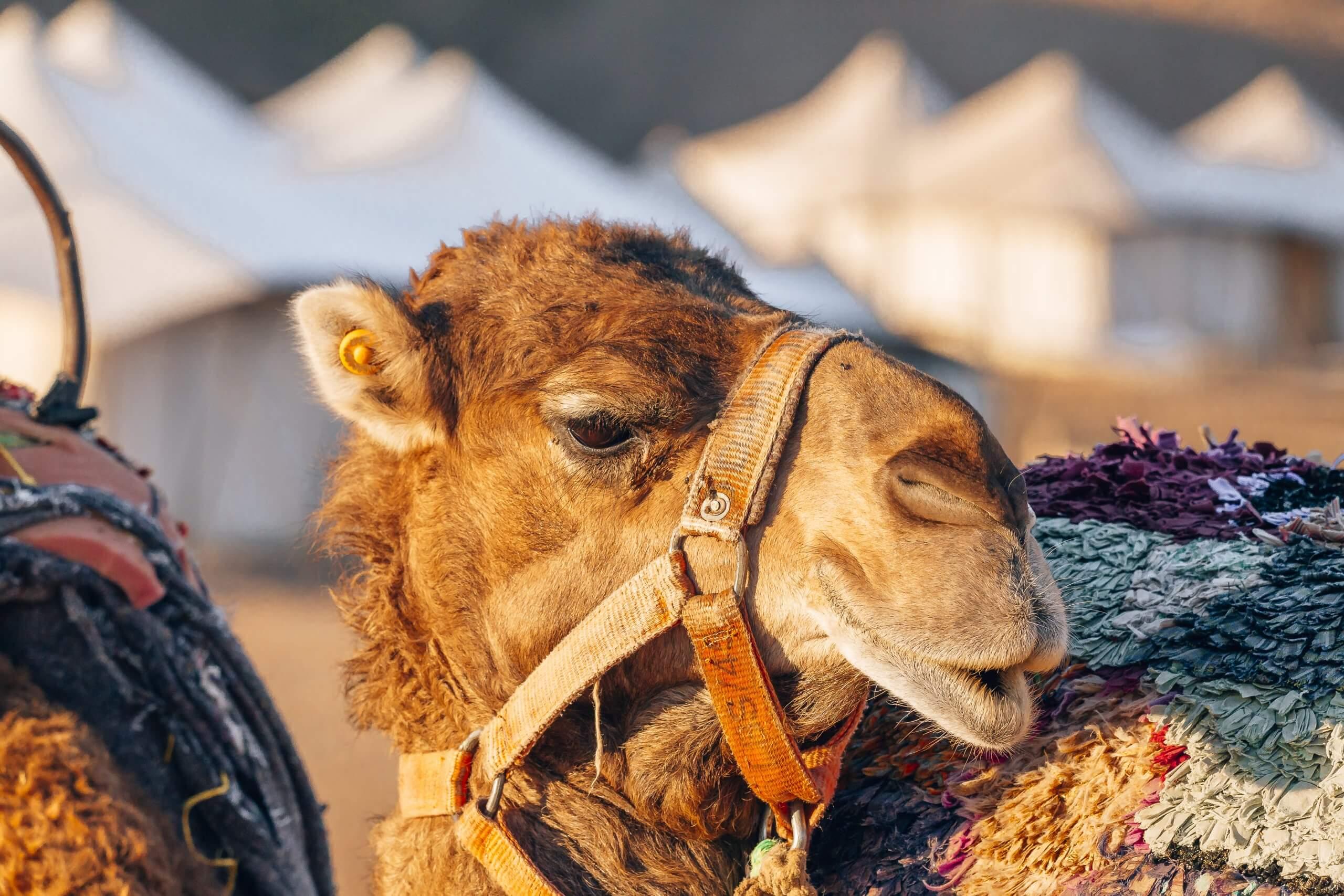 im Camp werden auch Kamelausritte angeboten