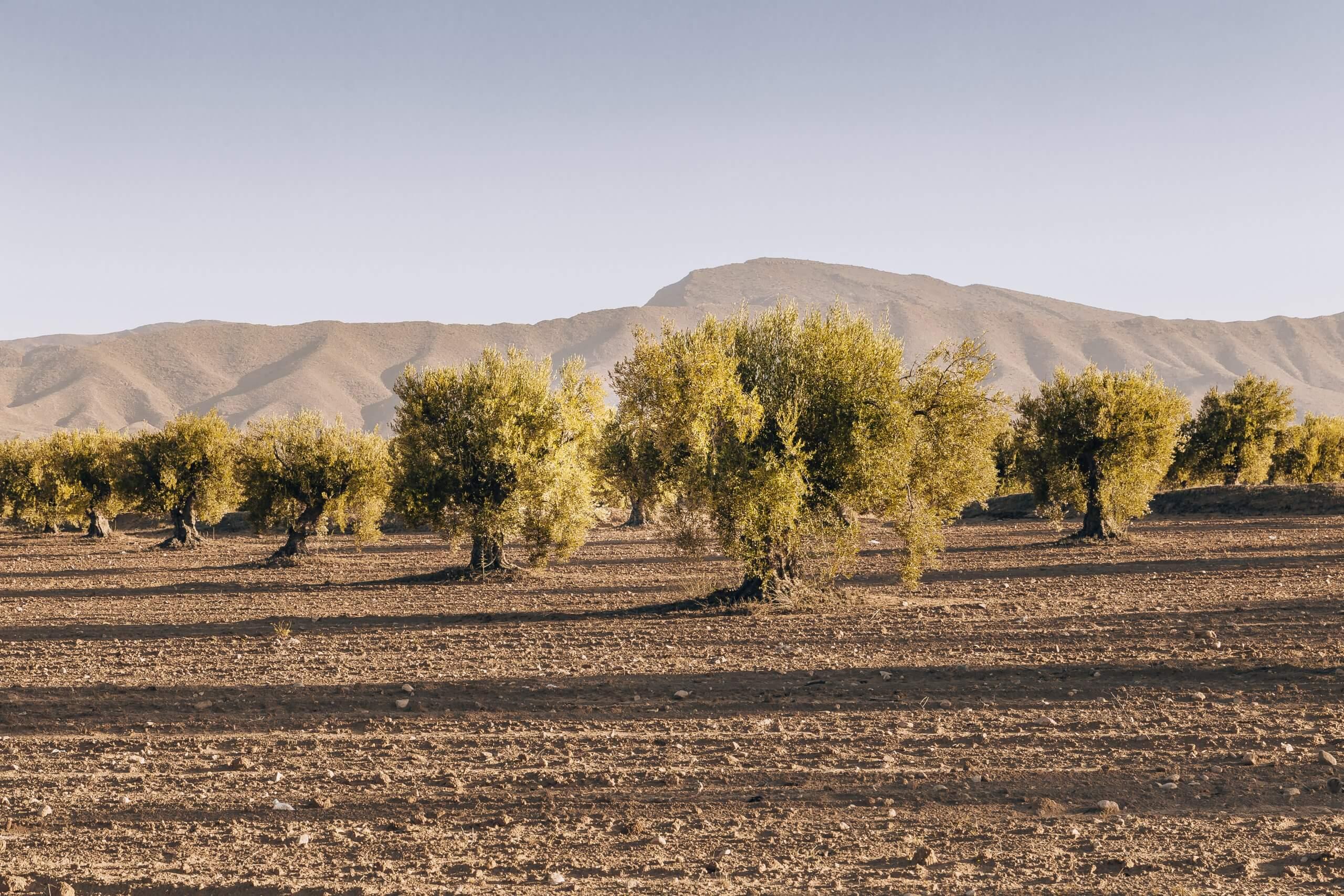 Olivenhaine rund um Sened