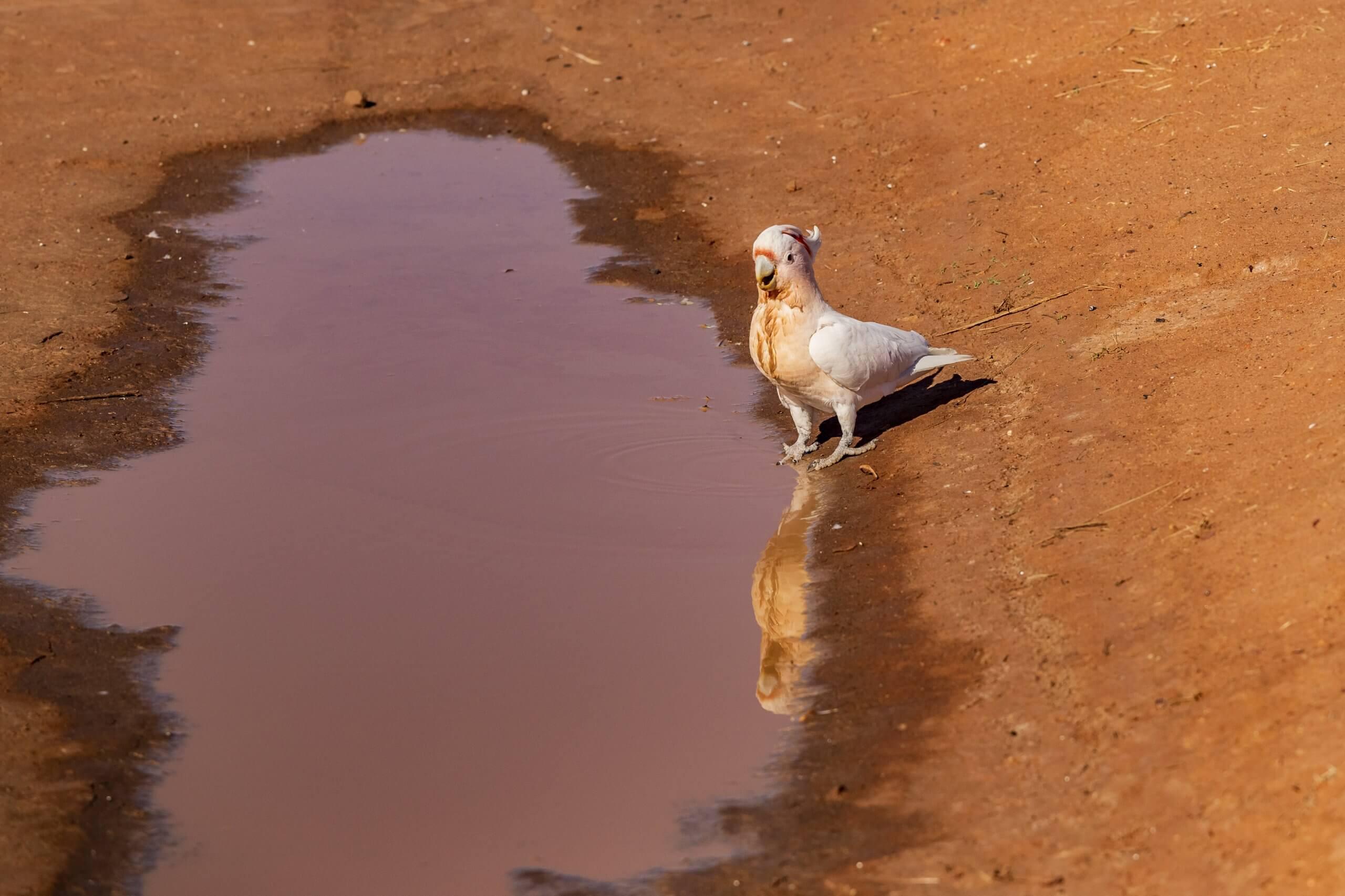 Papageien sind im Outback keine Seltenheit