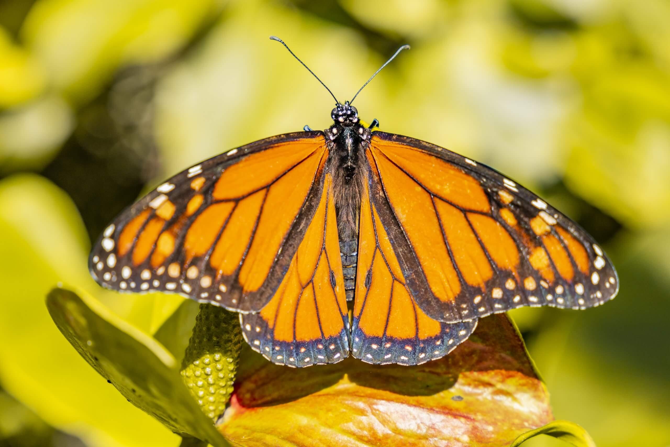 im Schmetterlinghaus der Flecker Botanic Gardens