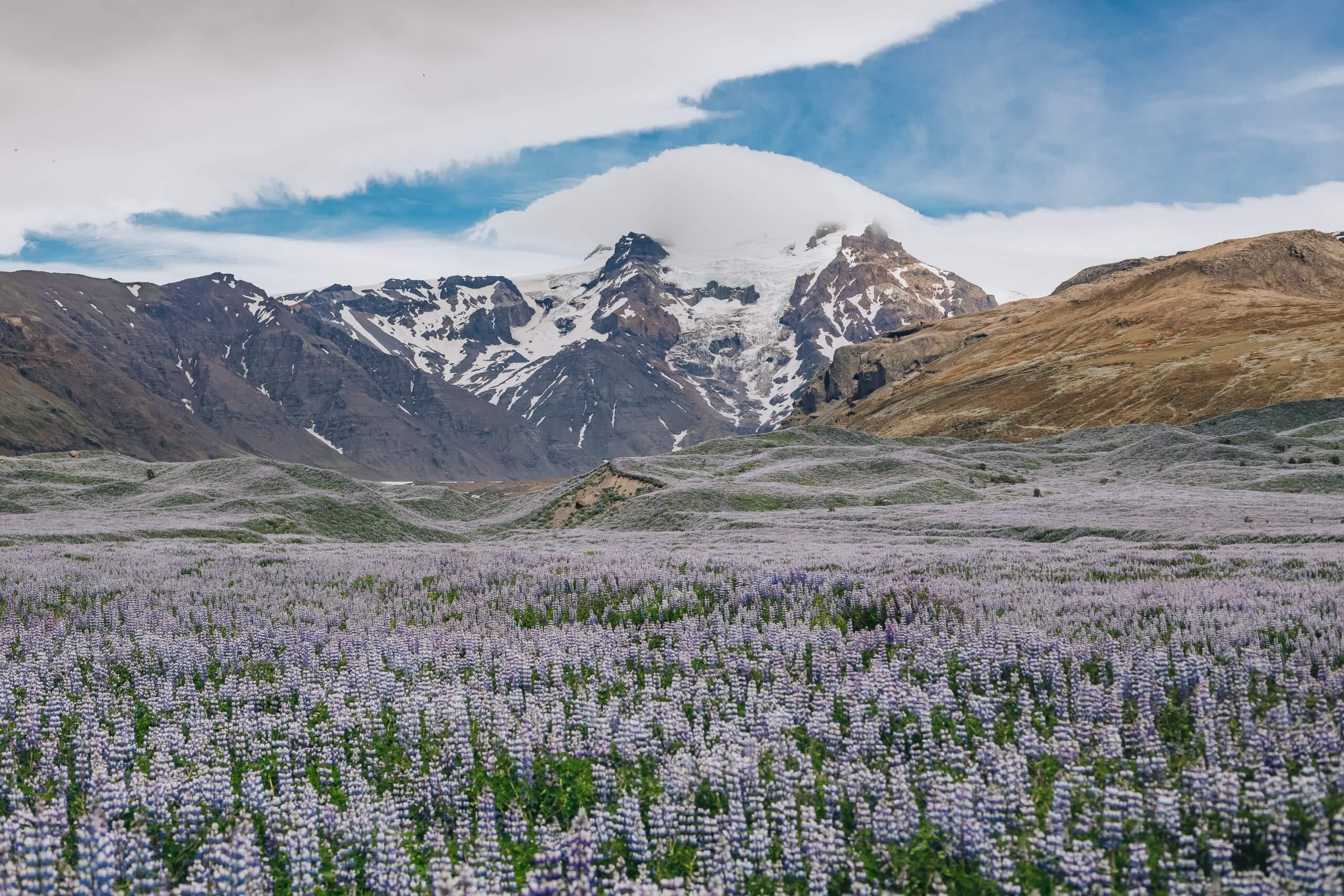 Sommer: Lupinenblüte auf Island