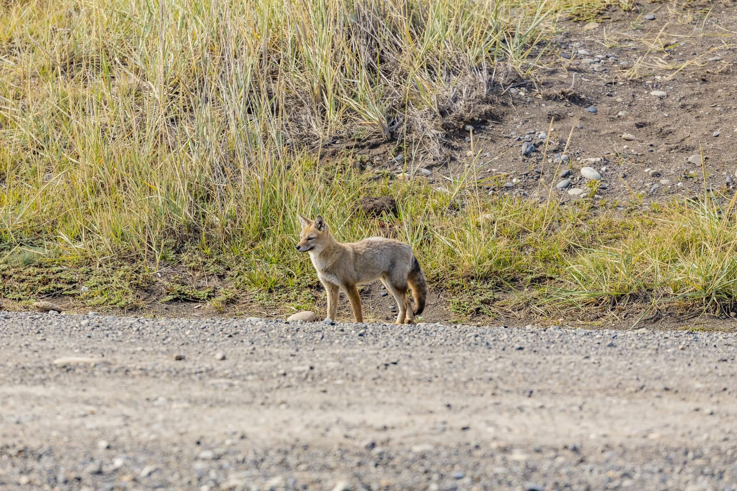 ein Fuchs in der Steppe