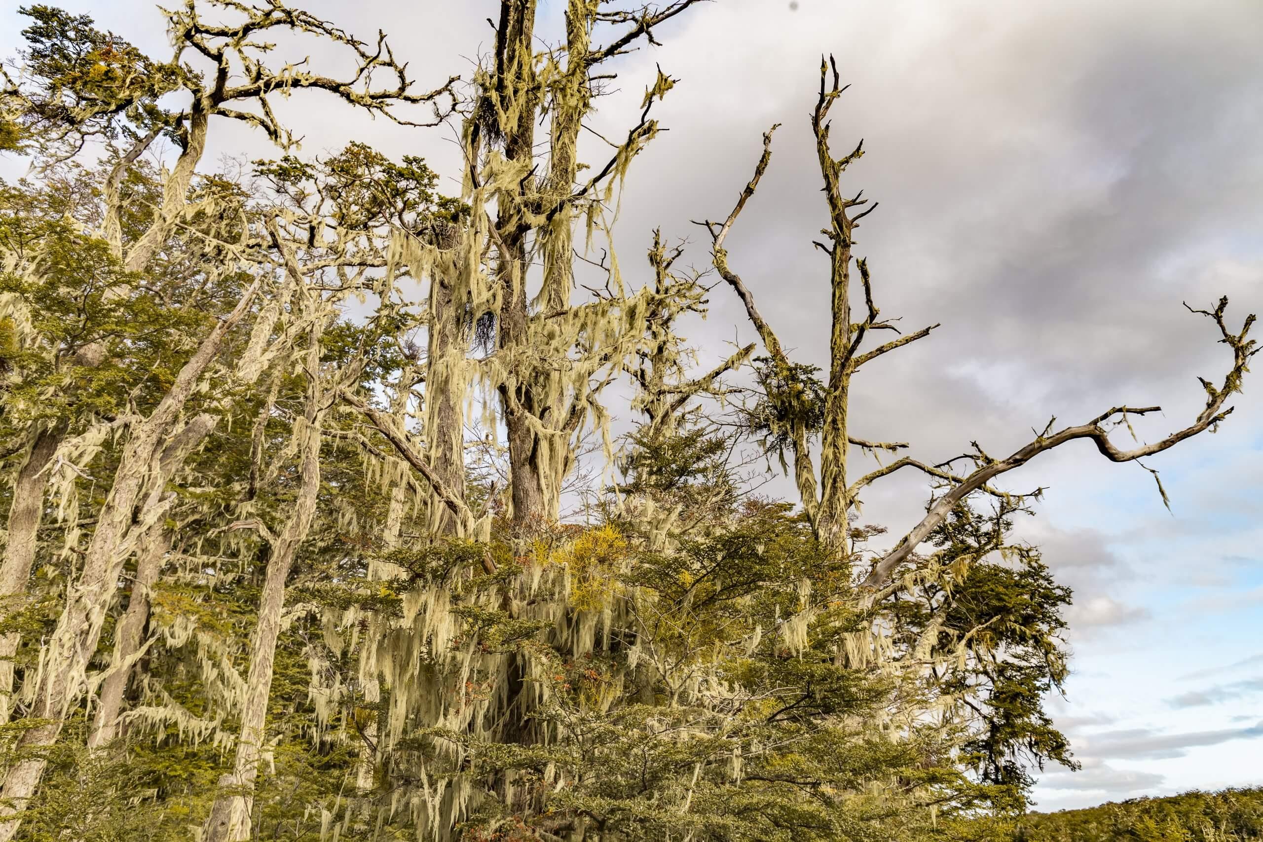 knorrige Bäume voller Moos